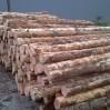 cambio geschild naaldhout